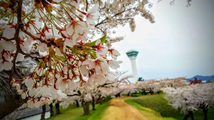 五稜郭桜1