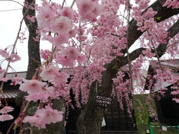 五稜郭桜2